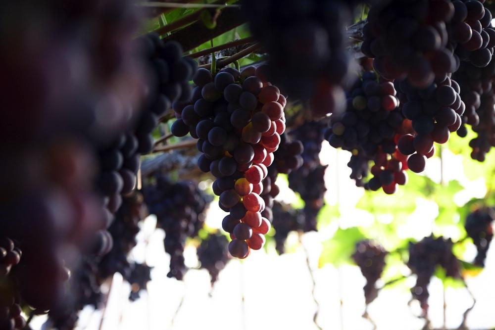 DruivenenwijnkeldersSoniën(3)_web