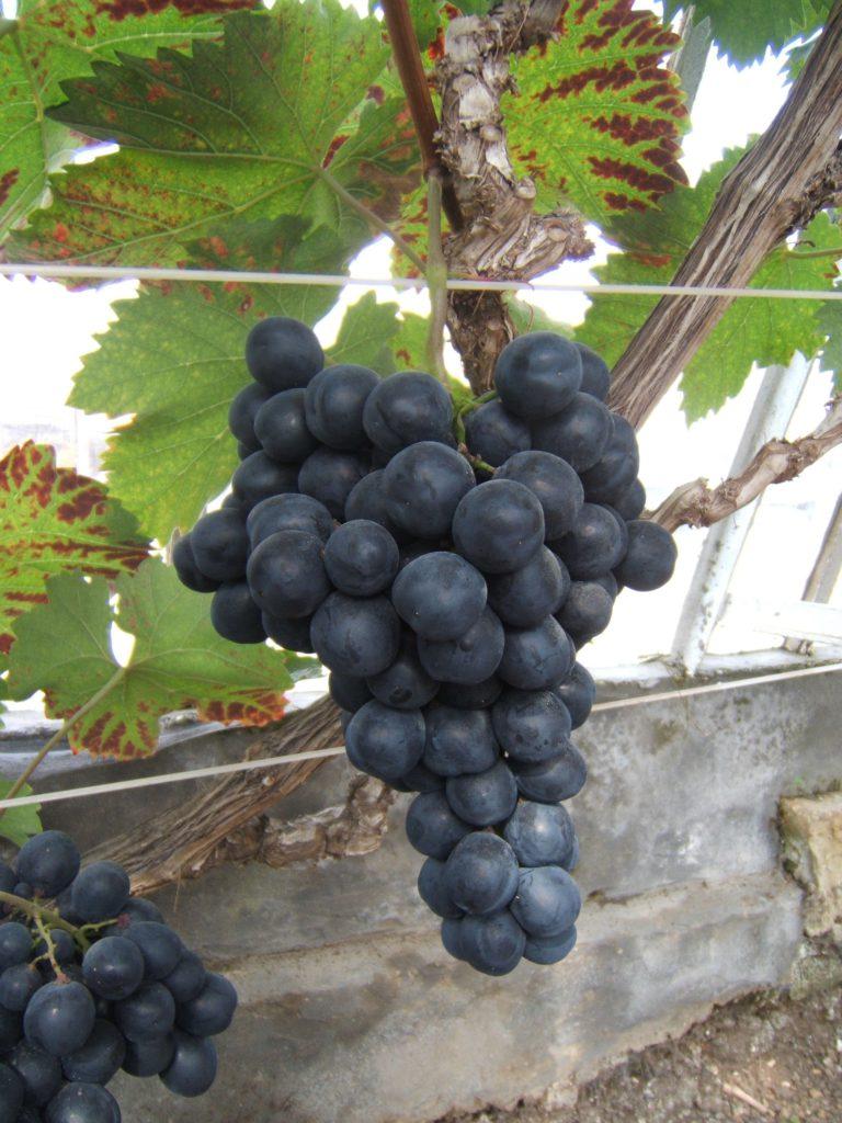 BRA 02 Druiven op Kelleveldsite